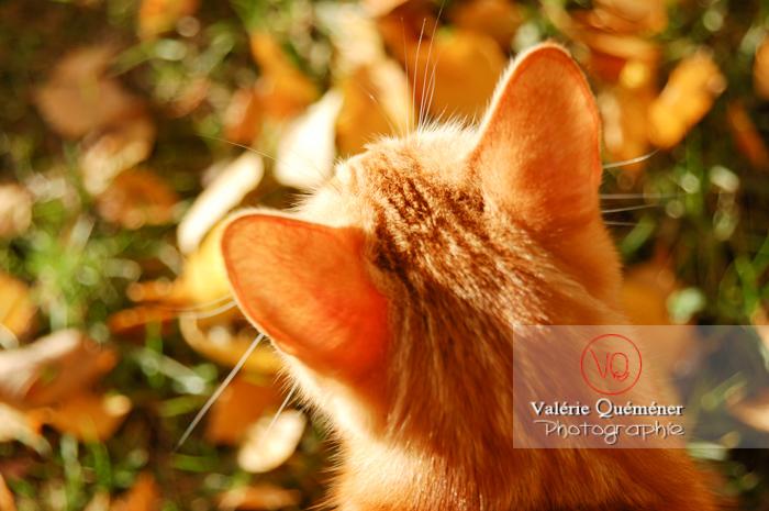 Vue en plongée sur les oreilles d'un chat roux - Réf : VQA1-24-0022 (Q1)