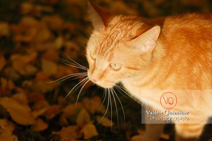 Portrait de chat domestique roux - Réf : VQA1-24-0026 (Q1)