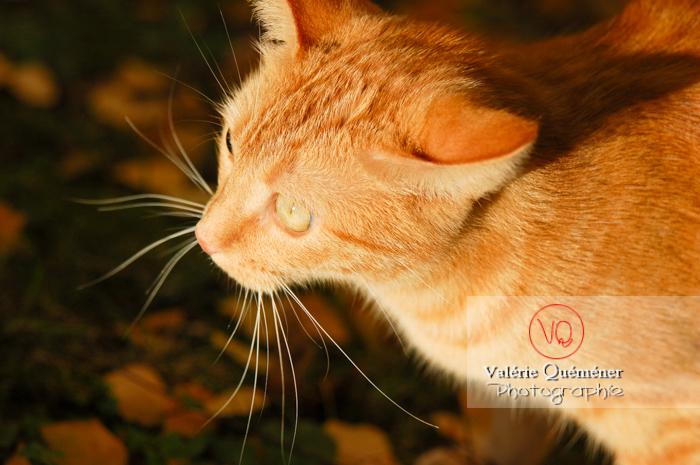 Portrait de chat domestique roux - Réf : VQA1-24-0027 (Q1)