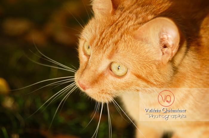 Portrait de chat domestique roux - Réf : VQA1-24-0033 (Q1)