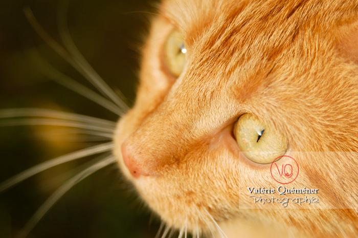 Portrait très rapproché d'un chat domestique roux - Réf : VQA1-24-0035 (Q1)