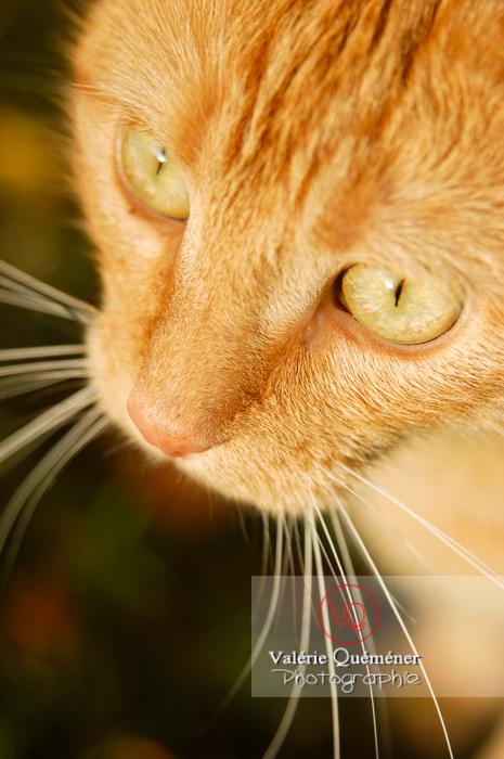 Portrait rapproché d'un chat roux - Réf : VQA1-24-0036 (Q1)