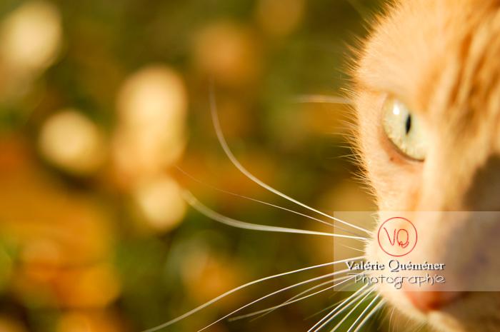 Détail vibrisses de chat roux - Réf : VQA1-24-0038 (Q1)