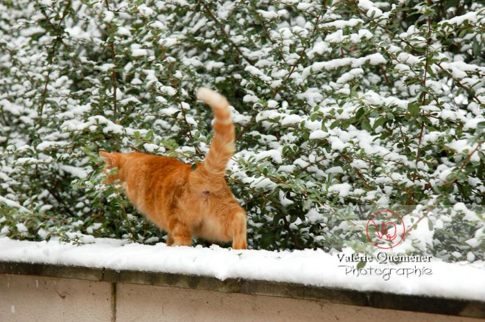 Chat domestique roux sur un mur enneigé - Réf : VQA1-24-0044 (Q1)