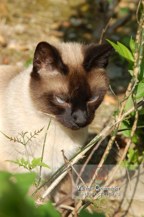 Portrait de chat de race Thaï - Réf : VQA1-24-0046 (Q1)