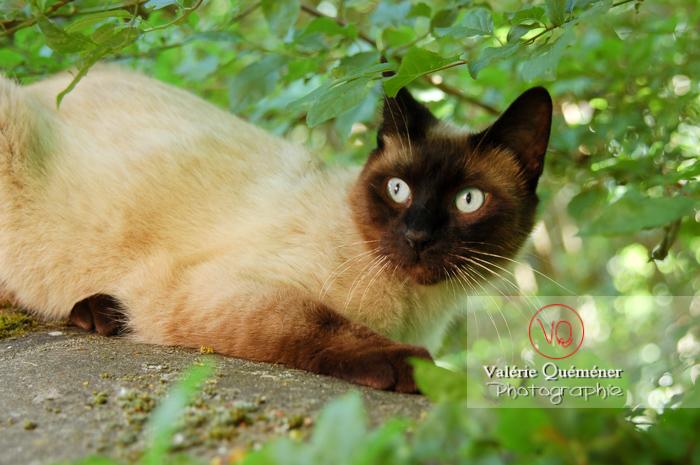 Portrait de chat de race Thaï - Réf : VQA1-24-0052 (Q1)