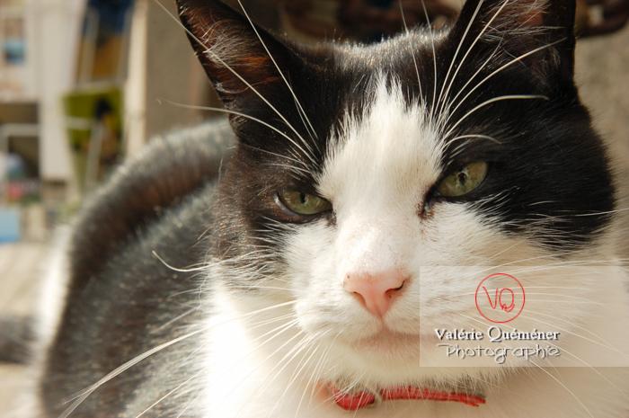 Portrait de chat domestique bicolore noir et blanc - Réf : VQA1-24-0059 (Q1)