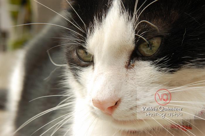 Portrait rapproché de chat domestique bicolore noir et blanc - Réf : VQA1-24-0061 (Q1)