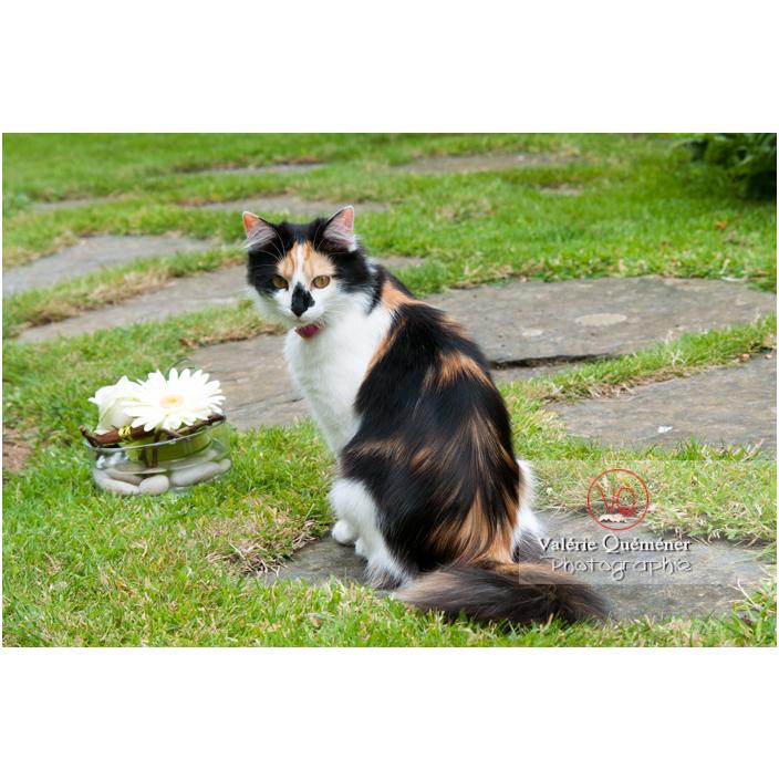 Chat Angora Turc assit dans un jardin / Bretagne / France - Réf : VQA1-24-0064 (Q1)