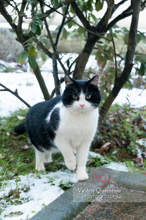Chat British Shorthair en hiver - Réf : VQA1-24-0295 (Q2)