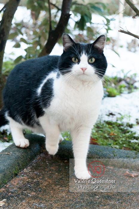 Chat British Shorthair en hiver - Réf : VQA1-24-0296 (Q2)