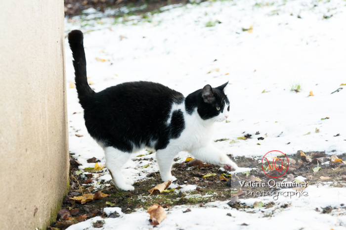 Chat British Shorthair dans la neige en hiver - Réf : VQA1-24-0299 (Q2)