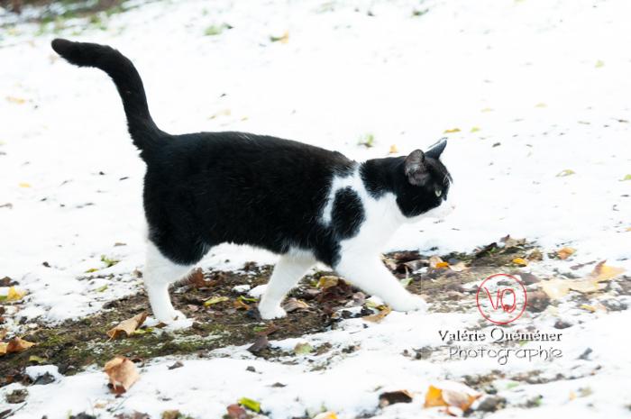 Chat British Shorthair dans la neige en hiver - Réf : VQA1-24-0300 (Q2)