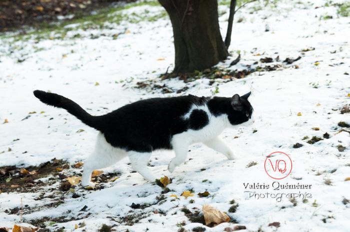 Chat British Shorthair dans la neige en hiver - Réf : VQA1-24-0302 (Q2)