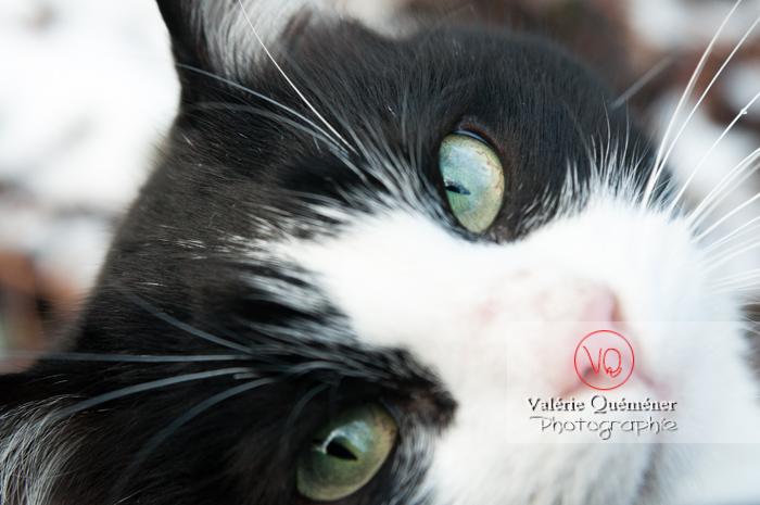 Portrait d'un chat British Shorthair - Réf : VQA1-24-0307 (Q2)