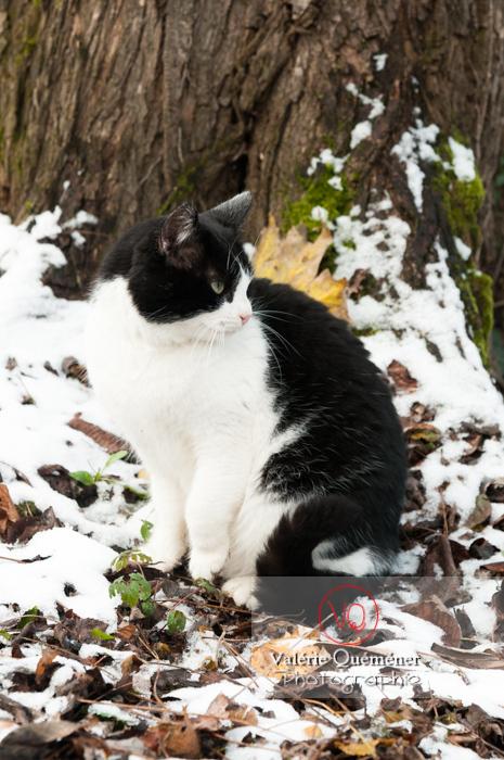 Chat British Shorthair en hiver - Réf : VQA1-24-0309 (Q2)