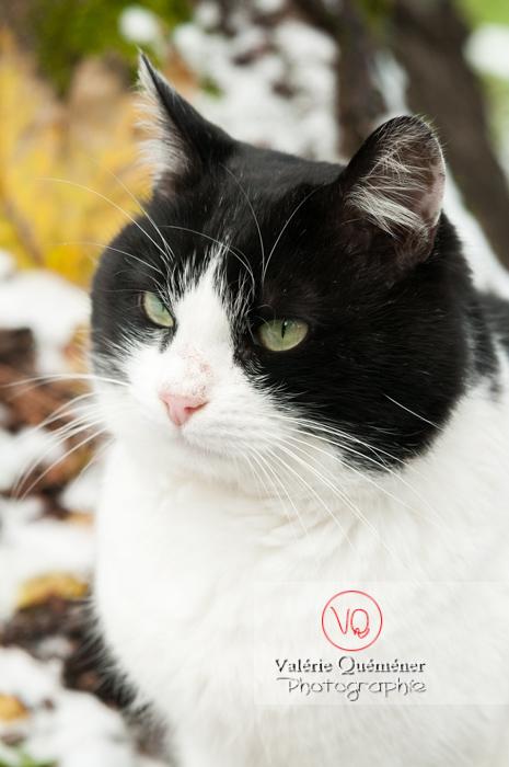 Portrait d'un chat British Shorthair - Réf : VQA1-24-0312 (Q2)