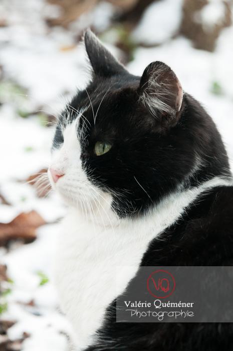 Portrait d'un chat British Shorthair - Réf : VQA1-24-0315 (Q2)