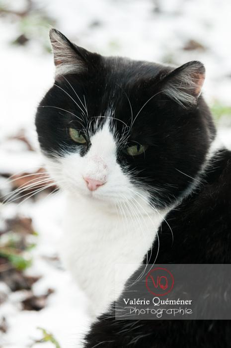 Portrait d'un chat British Shorthair - Réf : VQA1-24-0316 (Q2)
