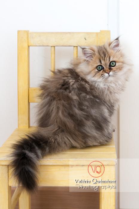 Chaton persan sur une chaise - Réf : VQA1-24-0336 (Q2)