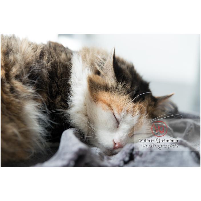 Portrait d'un chat Angora Turc qui dort - Réf : VQA1-24-0361 (Q2)