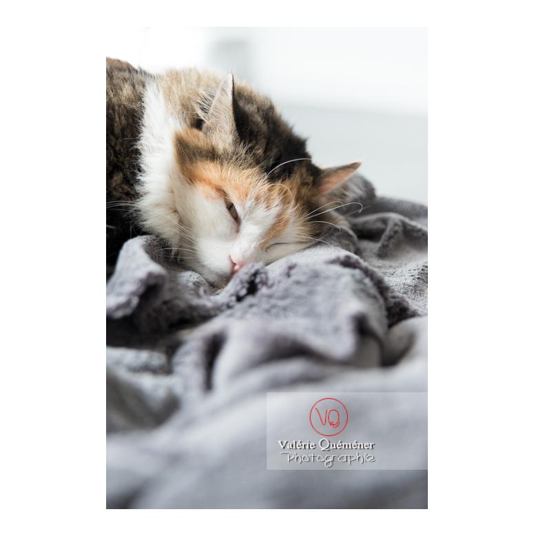 Portrait d'un chat Angora Turc qui dort - Réf : VQA1-24-0362 (Q2)