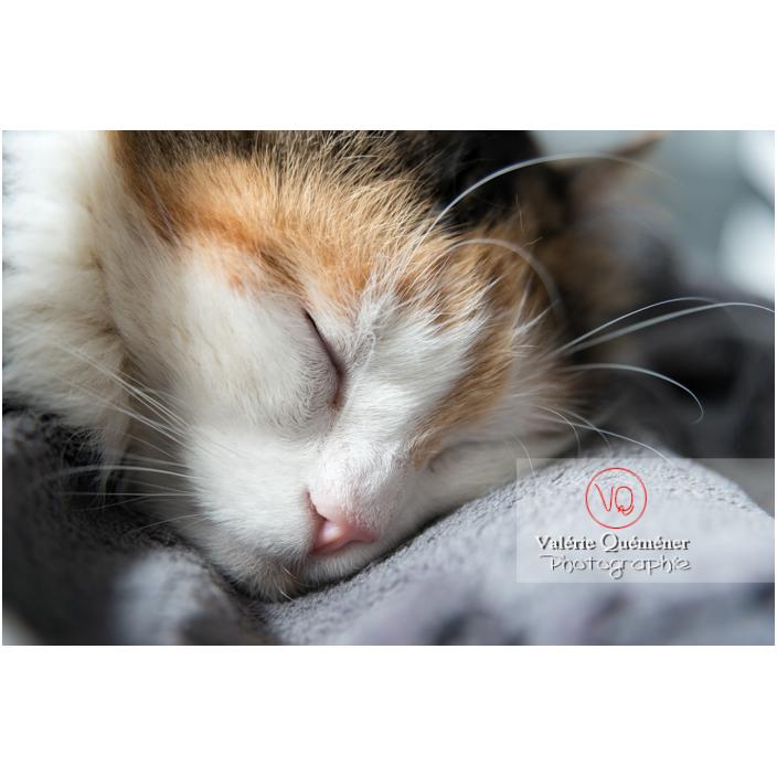 Portrait d'un chat Angora Turc qui dort - Réf : VQA1-24-0363 (Q2)