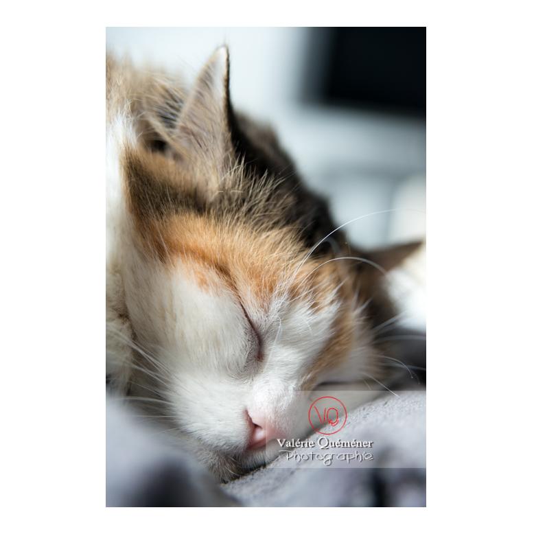 Portrait d'un chat Angora Turc qui dort - Réf : VQA1-24-0364 (Q2)
