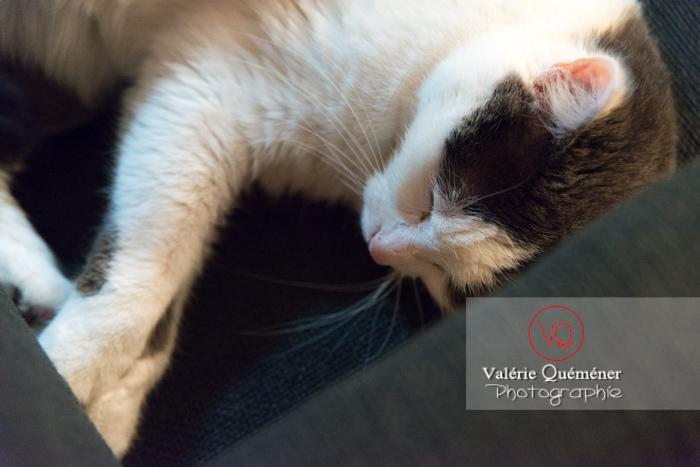 Portrait d'un chat bicolore noir et blanc dormant - Réf : VQA1-24-0382 (Q3)