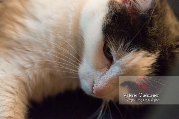 Portrait d'un chat bicolore noir et blanc allongé - Réf : VQA1-24-0383 (Q3)