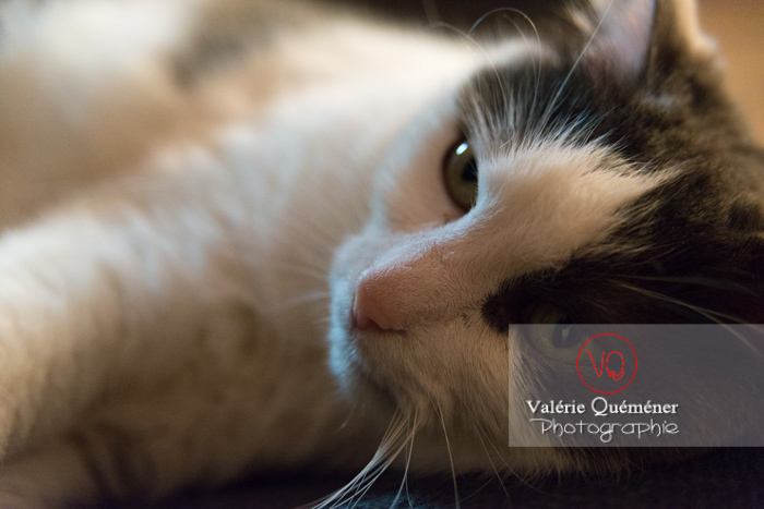 Portrait d'un chat bicolore noir et blanc allongé - Réf : VQA1-24-0384 (Q3)