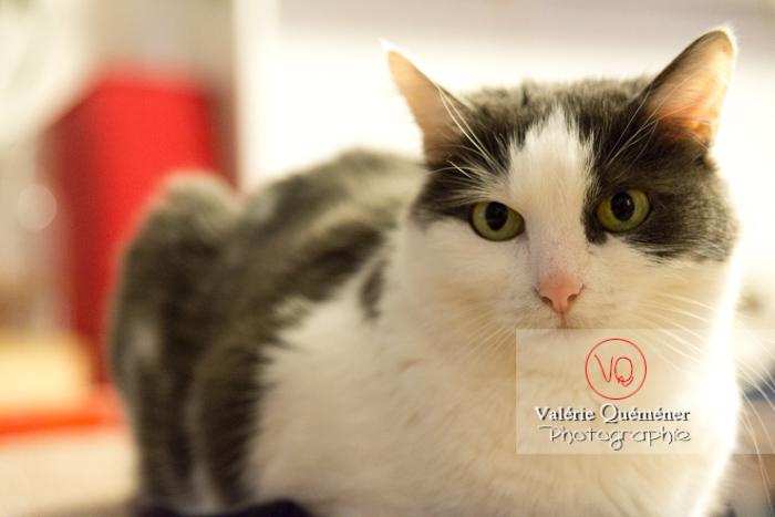Portrait d'un chat bicolore noir et blanc allongé - Réf : VQA1-24-0386 (Q3)