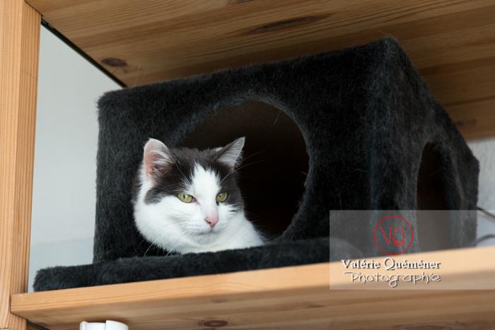 Portrait d'un chat bicolore noir et blanc dans sa niche - Réf : VQA1-24-0390 (Q3)