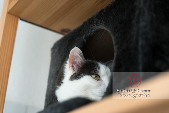 Portrait d'un chat bicolore noir et blanc dans sa niche - Réf : VQA1-24-0392 (Q3)