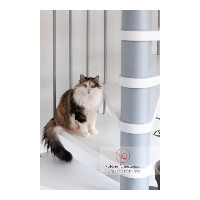 Chat Angora Turc assit sur les escaliers - Réf : VQA1-24-0827 (Q2)