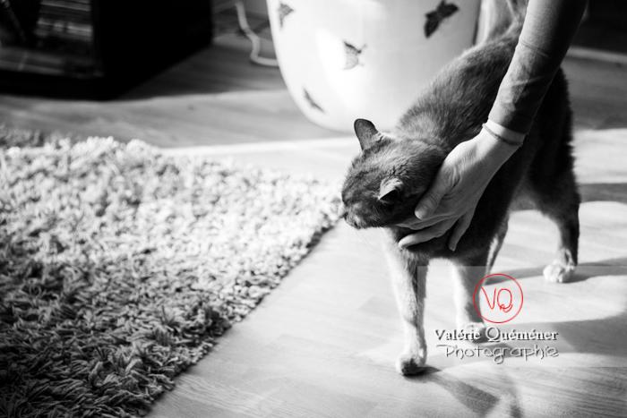 Caresse d'un chat domestique bleu (gris) - Réf : VQA1-24-0830-2 (Q3)