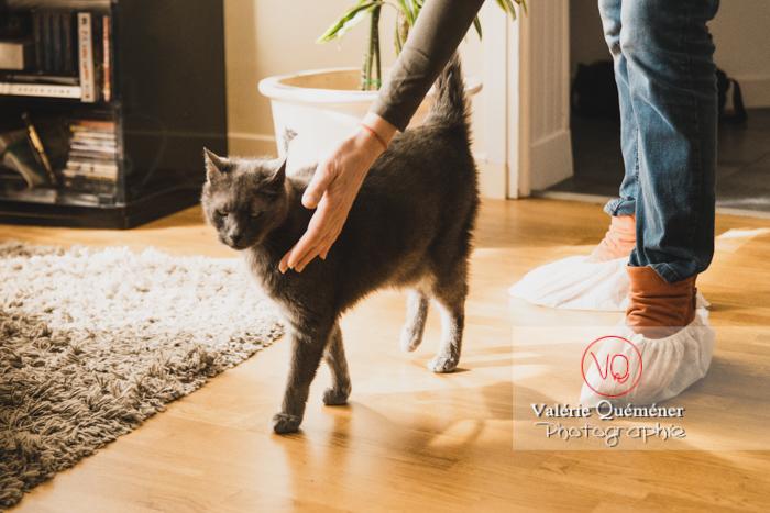 Visite à domicile d'un chat domestique bleu (gris) - Réf : VQA1-24-0831 (Q3)