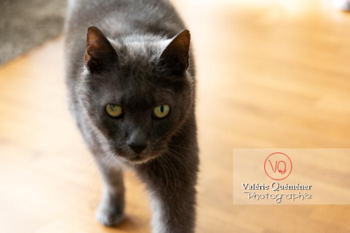 Portrait d'un chat domestique bleu (gris) avec un œil abîmé- Réf : VQA1-24-0832 (Q3)