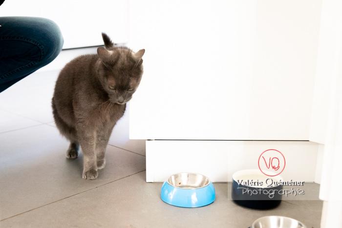Chat domestique bleu (gris) attendant sa pâtée - Réf : VQA1-24-0836 (Q3)