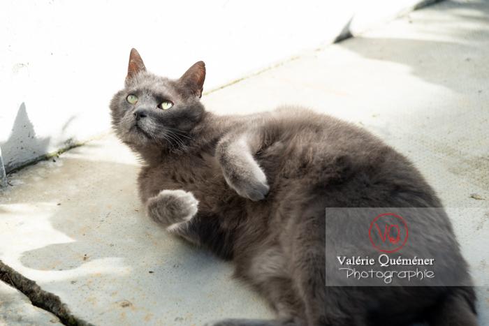 Chat domestique bleu (gris) allongé sur le côté - Réf : VQA1-24-0840 (Q3)