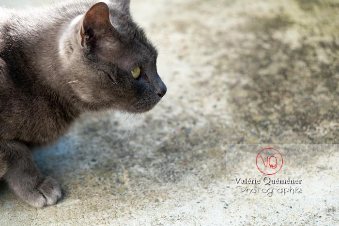 Portrait d'un chat domestique bleu (gris) tapit de profil - Réf : VQA1-24-0846 (Q3)