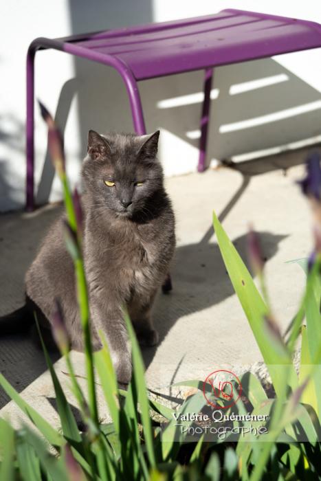 Bain de soleil d'un chat domestique bleu (gris) - Réf : VQA1-24-0848 (Q3)