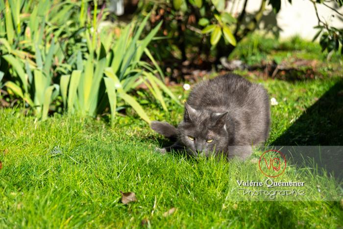 Chat domestique bleu (gris) tapit dans un jardin - Réf : VQA1-24-0849 (Q3)