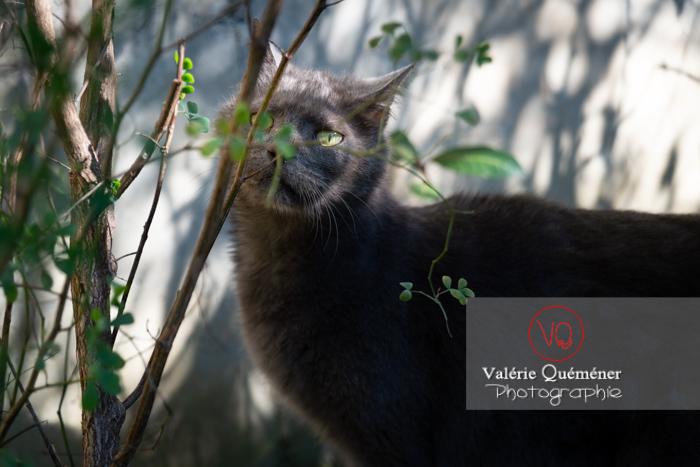 Chat domestique bleu (gris) à l'ombre d'un feuillage - Réf : VQA1-24-0854 (Q3)
