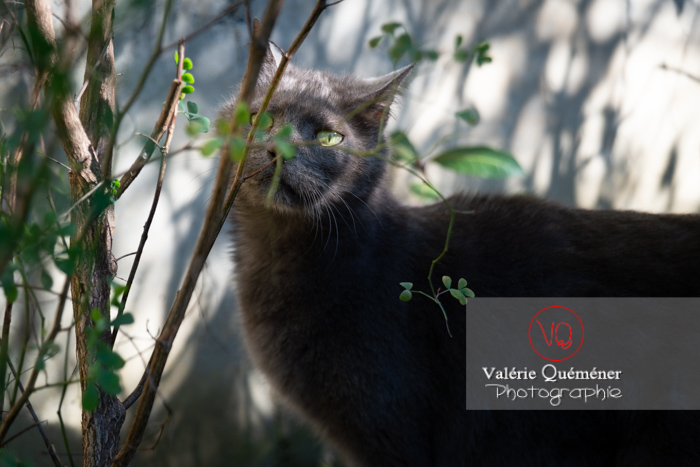 Chat domestique bleu (gris) dans l'ombre d'un feuillage - Réf : VQA1-24-0854 (Q3)