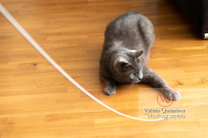 Chat domestique bleu (gris) jouant avec une brindille - Réf : VQA1-24-0861 (Q3 rec)