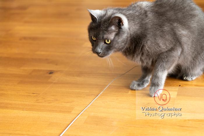 Chat domestique bleu (gris) - Réf : VQA1-24-0864 (Q3)