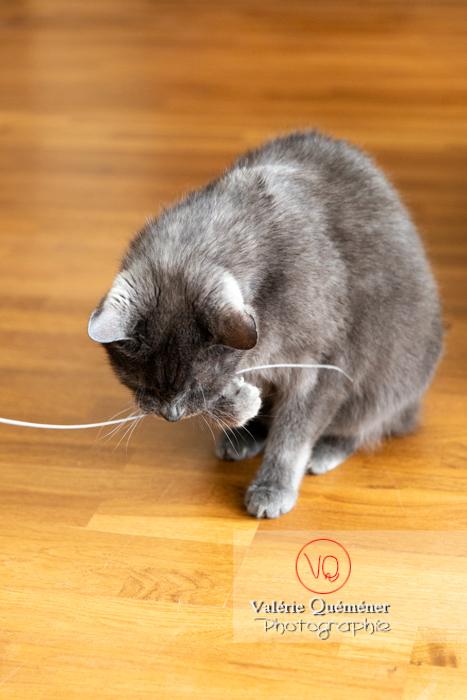 Chat domestique bleu (gris) jouant avec une brindille - Réf : VQA1-24-0865 (Q3)