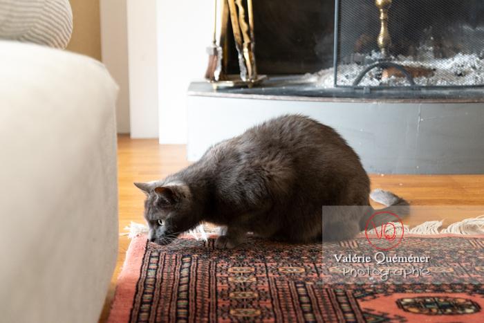Chat domestique bleu (gris) tapit - Réf : VQA1-24-0868 (Q3)