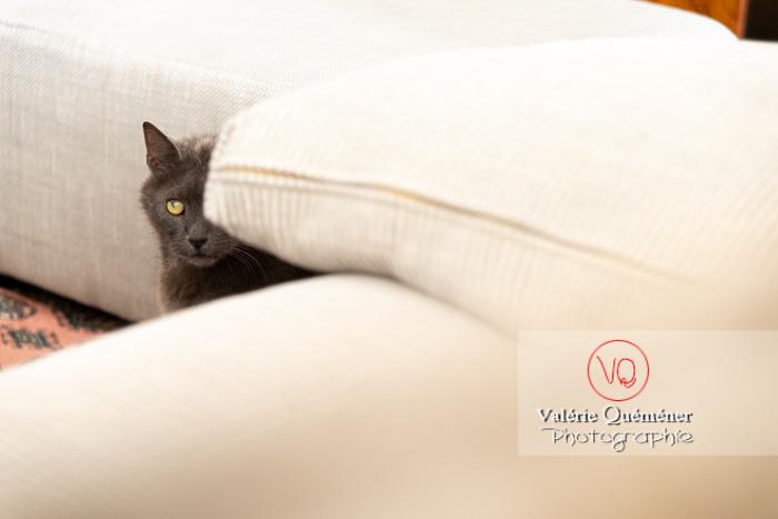 Chat domestique bleu (gris) derrière le canapé - Réf : VQA1-24-0875 (Q3)